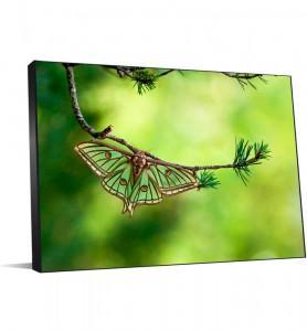 Tableau isabelle sur une branche de pin
