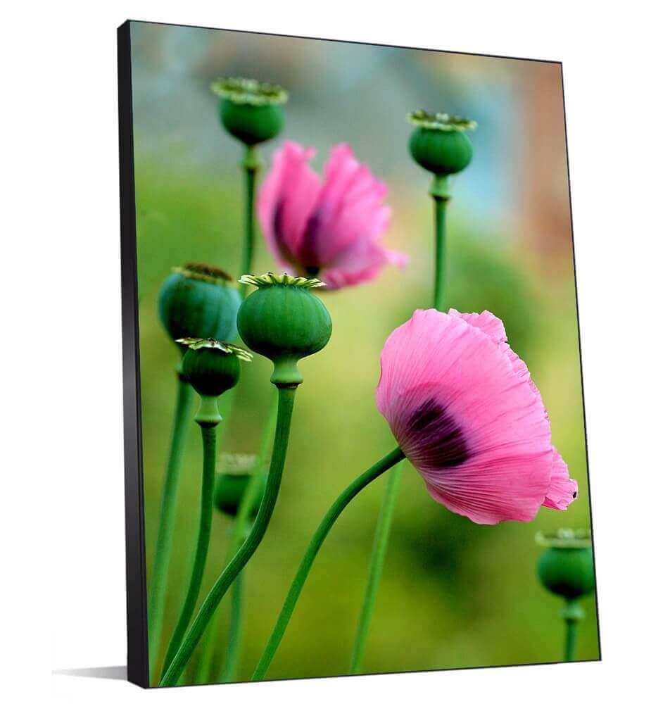 Tableau Fleurs de pavot rose