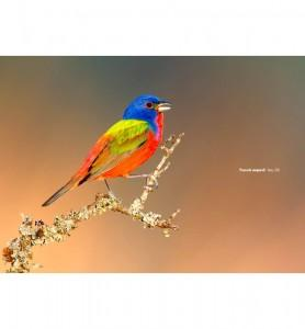 Tableau Passerin l'oiseau multicolore