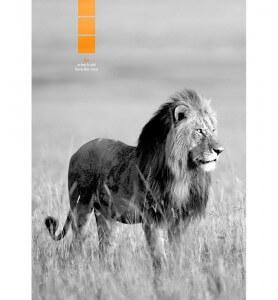 Tableau décoration Lion au Kenya noir et blanc